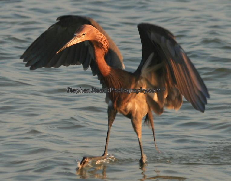 "Reddish Egret doing his so called ""drunken dance"" to attract fish."