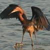 "Reddish-Egret doing his so called ""drunken dance"" to attract fish."
