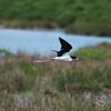 Black-Necked Stilt  Bird in Flight Picture