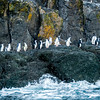 Gento Penguins, Chinstrap Penguins, on an Island in Antarctica,