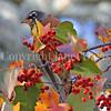 Turdus migratorius – American robin 10