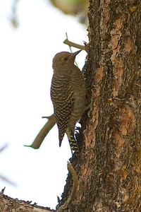 Williamson's Sapsucker (female juvenile)