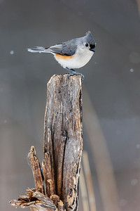 Winter Titmouse Perch