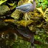 Blue Water Bird
