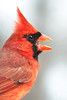 Male Cardinal in profile