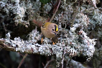 Goldcrest at Freemans Marsh 21-02-2018