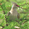Urocolius macrourus-Blue naped mousebird 2