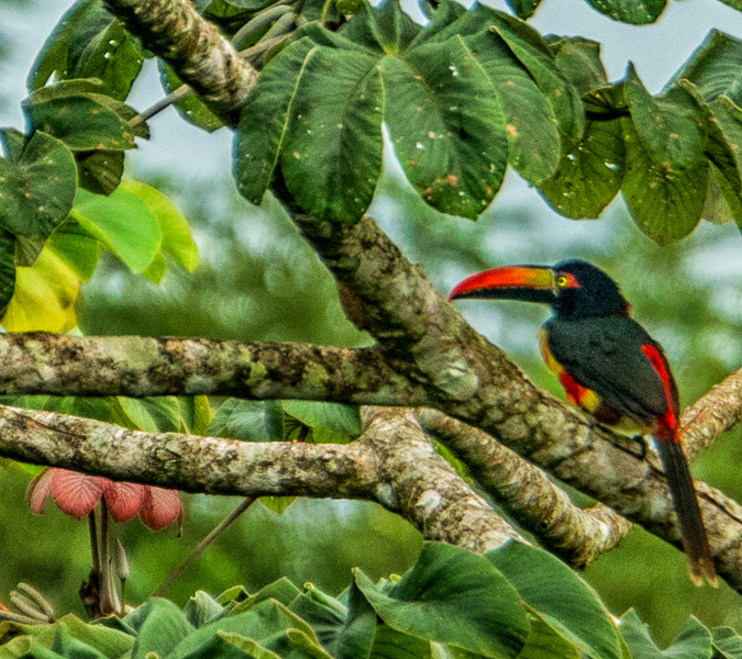 Small Toucan  Costa Rica