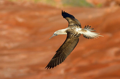 A Blue-footed Booby prepares a dive in pursuit of the tiny fish that school along the Sea of Cortez coastline of Baja California.