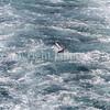 Fulmarus glacialis - Northern fulmar 9