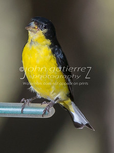 Yellow Finch-4