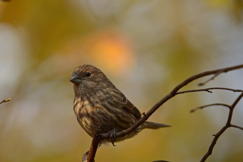 Pine Sisken in November
