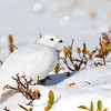 White-tailed Ptarmigan in Color