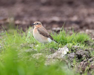 Wheatear at Compton May 1st 2018 b
