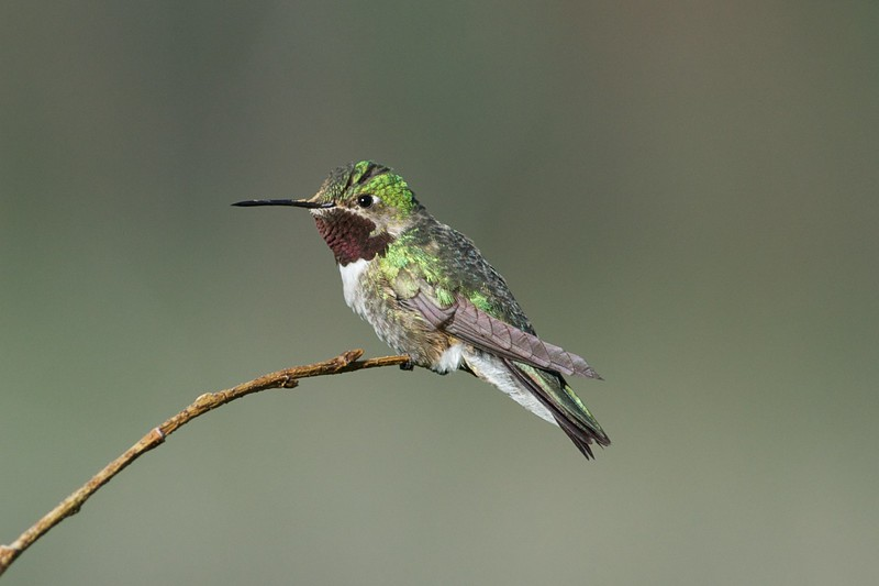 Broadtailed Hummingbird
