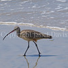 Numenius americanus-Long billed curlew 1