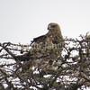 Aquila rapax – Tawny eagle 2