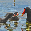 Adult Common Moorhen feeds two younger Common Moorhens.