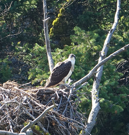 Osprey Nesting in Yellowstone 2017