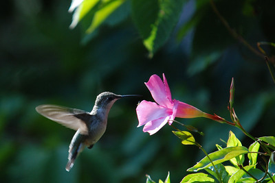 Female Hummingbird Visiting a Mandeville