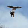 Red Kite Courtship 3