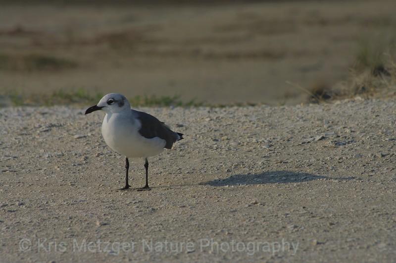 Sea gull, Chincoteague, Virginia, USA