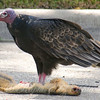 Turkey Vulture In Front Of My House