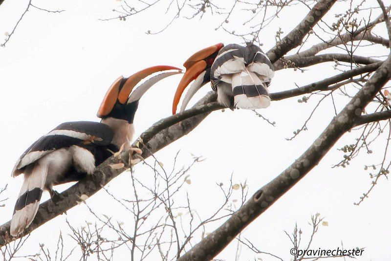 Great Pied Hornbills