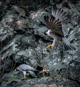 Two Peregrines
