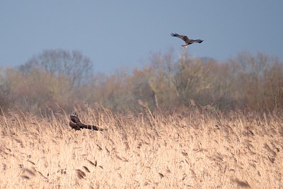 A Pair of Marsh Harriers at Otmoor 25 Feb 2018