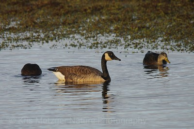 Evening Goose