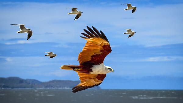 """Brahminy Kite Flanked by Gulls."""