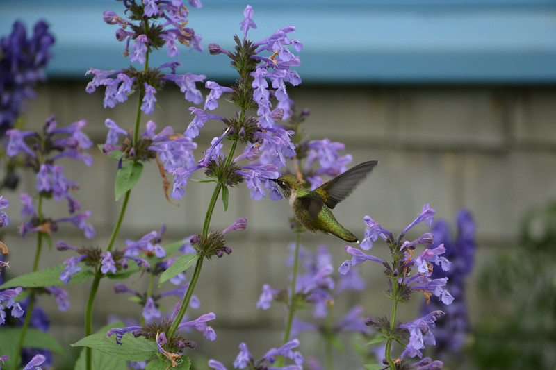 Hummingbird visits Lupine Gallery
