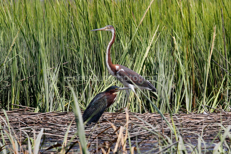 green heron and tri colored heron friends