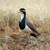Curious Banded Lapwing
