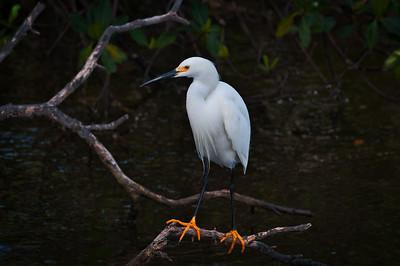 Snowy Egret 2093
