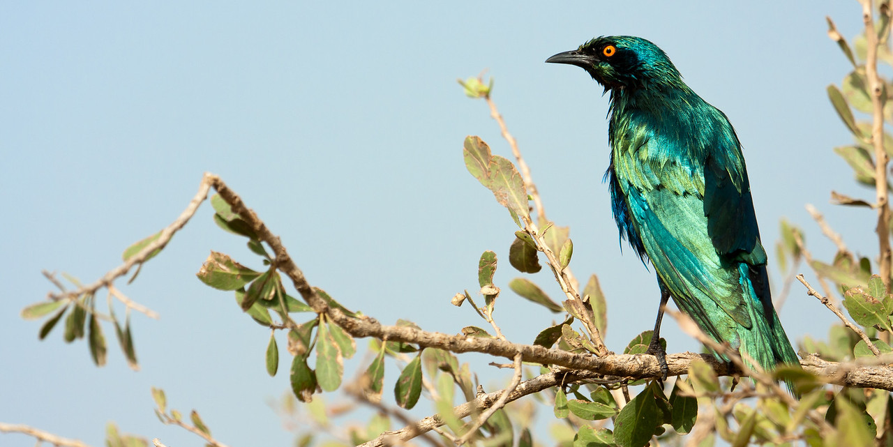 Greater Blue-Eared Glossy Starling (Lamprotornis chalybaeus).
