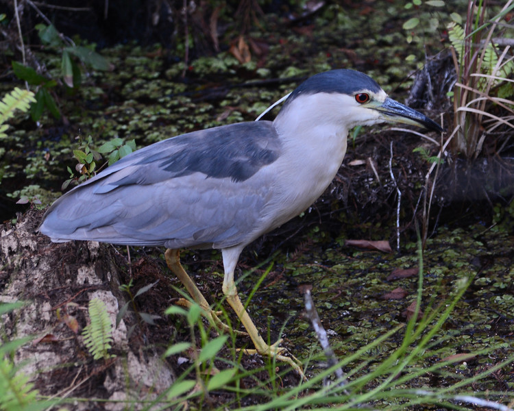 Black-crowned Night Heron in its natural habitat.