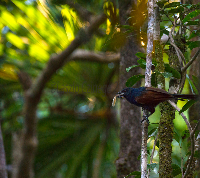 Madagascar Coucal (Centropus toulou),   Masoala National Park