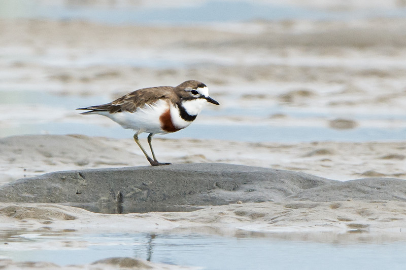 Bouble-banded Plover, Unnamed Island, The Broadwater, Gold Coast, QLD.