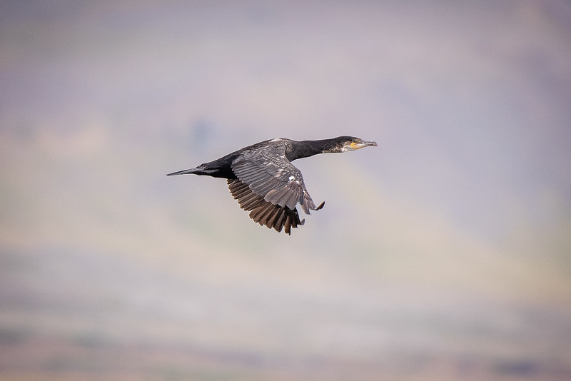 Dílaskarfur (Phalacrocorax carbo)