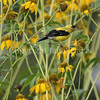 Spinus tristis – American goldfinch on Rudbeckia laciniata 2
