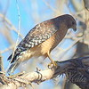Found Papa Red-Shouldered Hawk