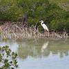 Ardea herodias occidentalis – Great white heron 4