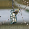 Winter Goldfinch View 2