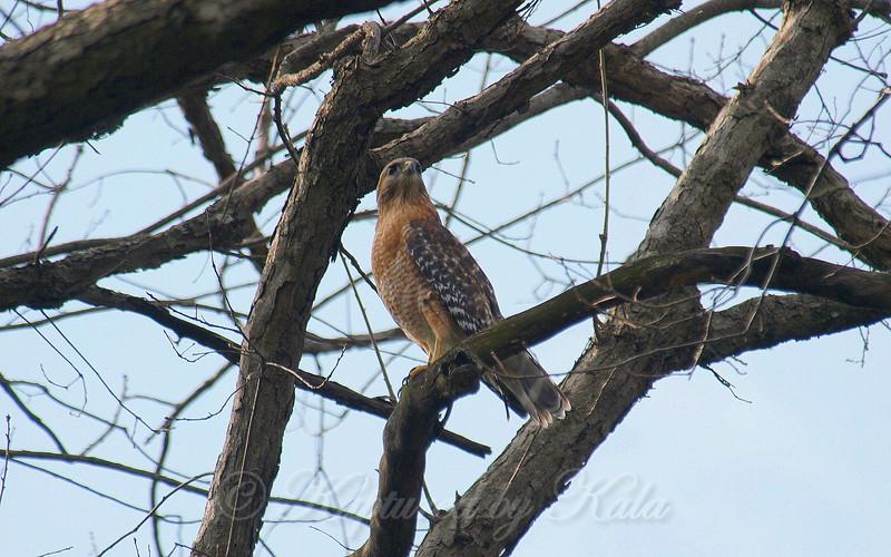 Papa Red-Shouldered Hawk