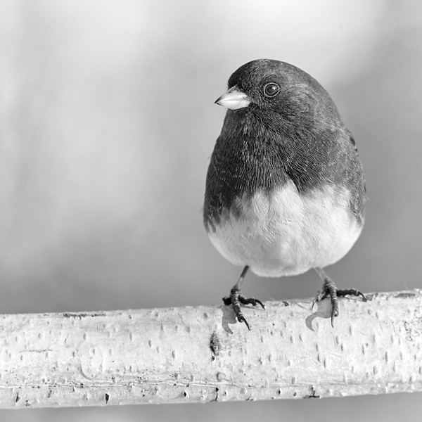 Eye of the Junco