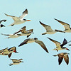 LAUGHING GULLS  AND LEAST TERNS CAUGHT IN FLIGHT.