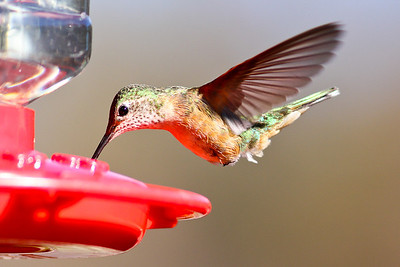 Female hummingbird--I think it is a Broad-tailed, but there were Rufous around as well.