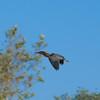 Green Heron, Santa Barbara, California